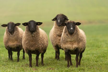 a cute group of sheep on a pasture stand next to each other and look into the camera