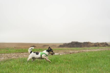 Cute small Jack Russell Terrier, 13 years old. Dog runs with power over a wet meadow in fog and bad weather and has fun.
