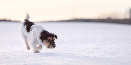 Cute little  Jack Russell Terriers dog sniffing on a snowy meadow in winter in front of evening sky and follows a trail. 写真素材
