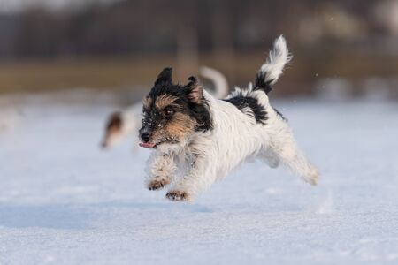 Cute small Jack Russell Terrier dogs happily run across a snowy meadow in winter.