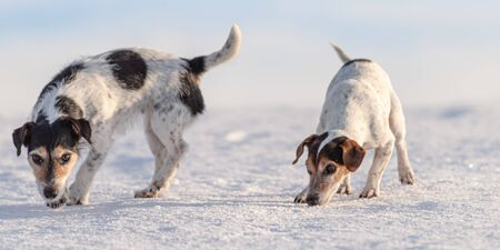 Two cute small  Jack Russell Terriers dogs, 12 and 9 years old sniffing on a snowy meadow in winter in front of blue sky and follows a trail.