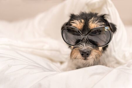 Funny small Jack Russell Terrier  dog  with glasses is lying and sleeping in a bed