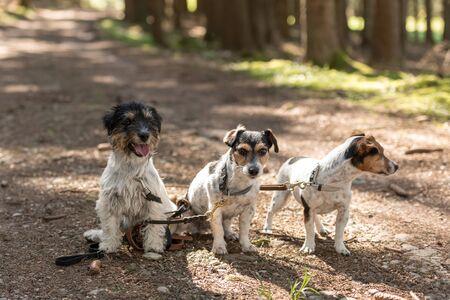 Süße kleine gehorsame Jack Russell Terrier Hunde im Wald auf einem Weg a