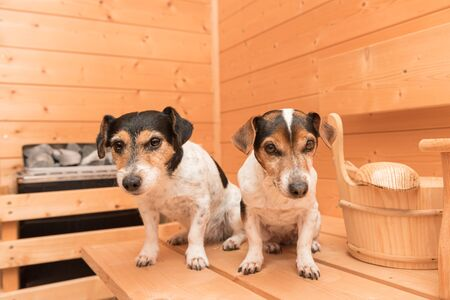 A group of cute little Jack Russell Terrier dogs in the wooden spruce sauna Stock Photo