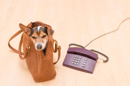 Little cute Jack Russell Terrier dog sits in a brown handbag and looks funny out. Sits next to an old phone.