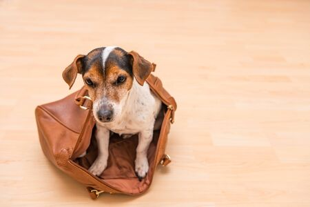 Small  cute Jack Russell Terrier dog sits in a brown handbag and looks funny out. 写真素材