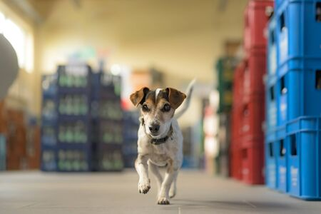 small dog in shopping market - cute little Jack Russell terrier, 13 years old is running through the mall 写真素材