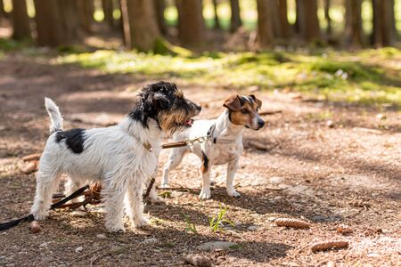 Cute small obedient Jack Russell Terrier dogs in the forest on a path 写真素材
