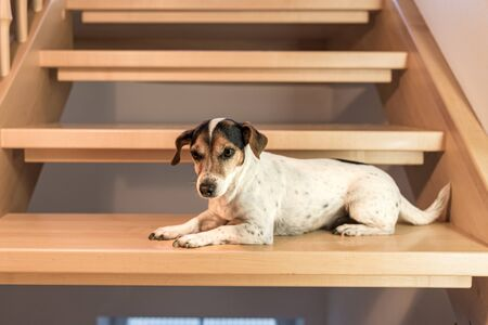 cute small Jack Russell Terrier lying on a wooden maple staircase