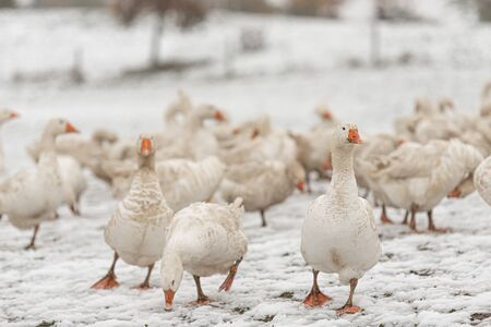 a lot of white geese on a snovy meadow in winter. Portrait.