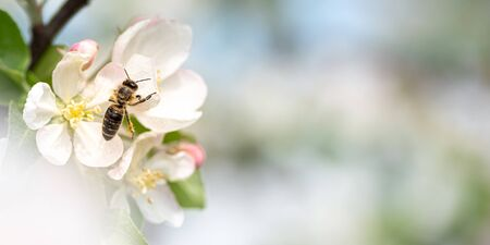 Honey bee is collecting honey on a beautiful blossoming apple tree against blurred background
