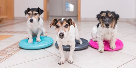 A lot  of small dogs on balance pad - Three Cute Jack Russell Terrier dogs.