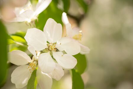 Apple tree blossom in spring in front of blurred background. White pink buds and flowers on the branch