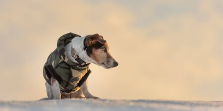Small cute handsome Jack Russell Terrier dog, 12 years old,  with protective clothing in nature be on the move in front of atmospheric cloudy sky