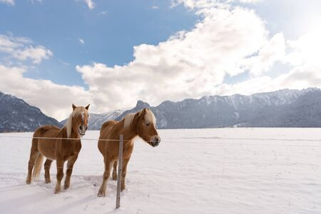 Haflinger horses on the winter meadow and mountain peaks on background.