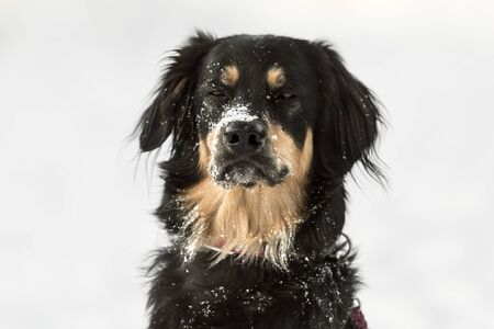 Dog portrait in a white winter background. Obedient bernese mountain dog.