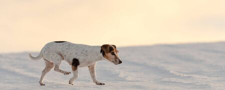 Small cute  12 years old  Jack Russell Terrier dog is walking over a snowy meadow in the season winter. 写真素材