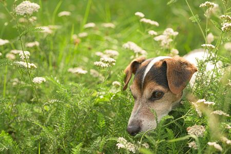 Little old Jack Russell Terrier dog sits in a flowering meadow with tall grass. Hound is 13 years old.