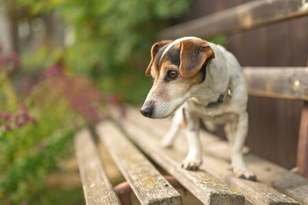 Cute 13 years old Jack Russell Terries  dog is standing on a park bench
