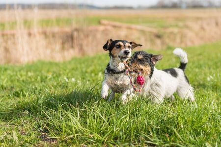 Two little Jack Russell Terrier are running and playing togehter in the meadow with a ball