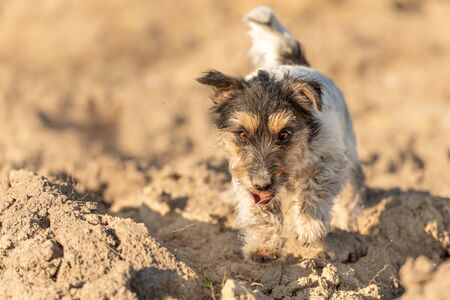 Three-color purebred Jack Russell Terrier dog runs over a field and has a lot of fun doing it.