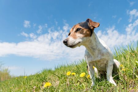 Cute Jack Russell Terrier dog are sitting in a meadow with dandelions in spring in front of blue background. smooth-haired 10 years old