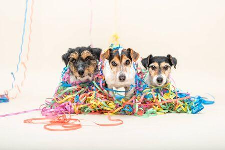 Trois mignons chiens de fête effrontés. Les chiens Jack Russell prêts pour le carnaval
