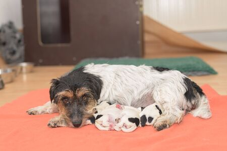 Pups on the day of birth. days old. Purebred very small Jack Russell Terrier baby dogs with her mother. Newborn puppies are drinking at the bitch