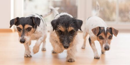 three cute small Jack Russell Terrier dog running through the apartment at home Stock Photo
