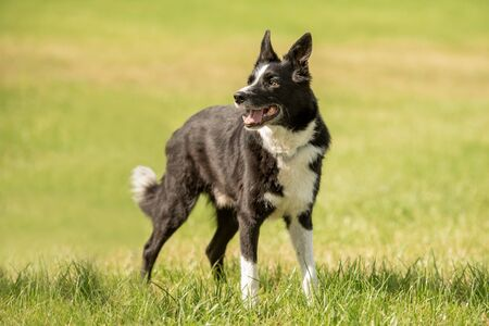 Cute beautiful Border Collie on a green meadow outside in the nature,