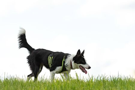 beautiful Border Collie on a green meadow outside in the nature in front of white sky background Reklamní fotografie