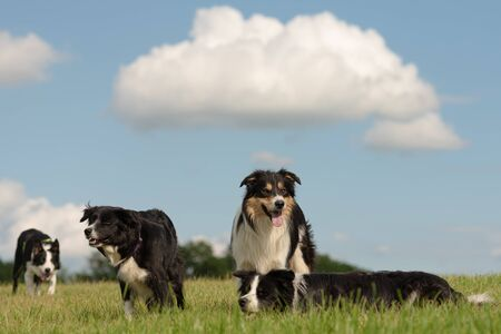 A group of obedient dogs - Border Collies in all ages from the young dog to the senior