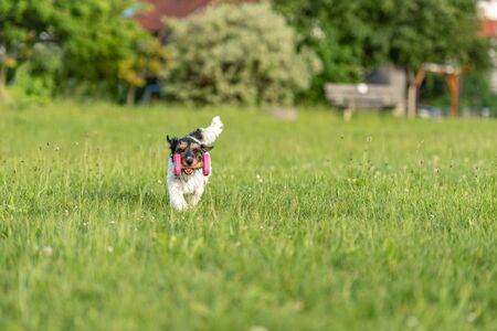 Small Jack Russell Terrier dog is holding a dumbbells in the catch outdoor. Doggz is runnig across a green meadow Banco de Imagens