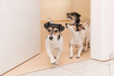 Three cute small cheeky Jack Russell terriers running through an open door in the apartment at home