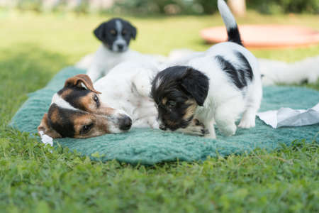 Small cute Baby Jack Russell Terrier puppies 5 weeks old with mum or aunt. Play and leave a mess on the meadow in the garden