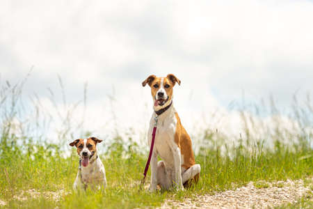 Two cute enchanting dogs sits together without humans. Small Jack Russell Terrier doggy and his big mongrel friend Reklamní fotografie