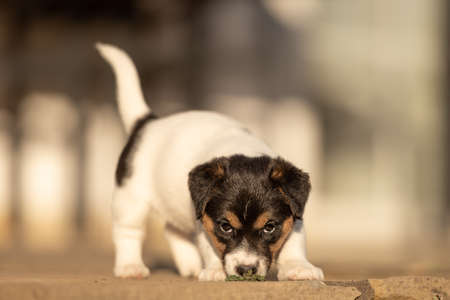 Doggy 6 weeks old. Young little Jack Russell Terrier puppy in the garden.