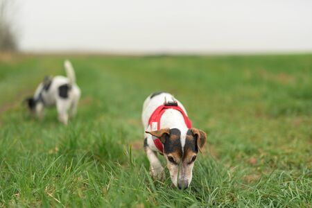 Two cute beauty Jack Russell Terrier dogs are sniffing on a green meadow in late summer. 10 and 13 years old. 스톡 콘텐츠
