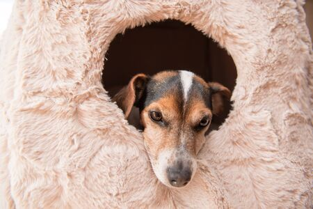 Cute little dog lies comfortably in a cat cave .Jack Russell 10 years old - hair style smooth. Is looking out
