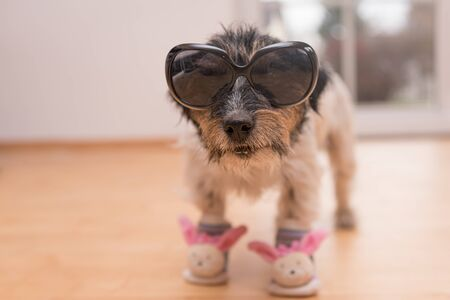 Little crazy easter dog wears black sunglasses. Cool rough-haired Jack Russell Terrier hound