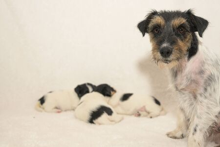 Pups 3,5 weeks old. Purebred newborn very small Jack Tiny Russell Terrier puppy dogs wiht her bitch. Mother dog sits next to it and looks into the camera. Cute little doggy sleeping in the group Reklamní fotografie