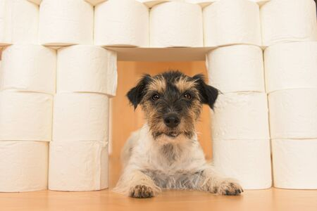 Cute small Jack Russell Terrier dog is busy with toilet paper. Reklamní fotografie