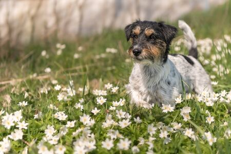 Jack Russell Terrier dog in springtime in the forest in a sea of white beautiful anemones Reklamní fotografie