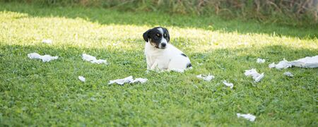 Small beauty baby Jack Russell Terrier puppy 5 weeks old. Play and leave a mess on the meadow in the garden