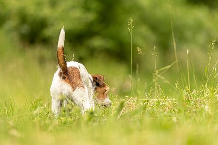 beautiful small Parson Russell Terrier follows a good smelling trail in spring on a meadow