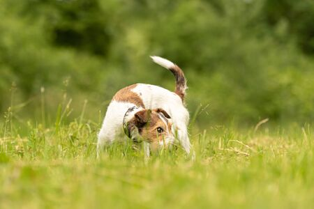 beautiful little Parson Russell Terrier follows a good smelling trail in spring on a meadow