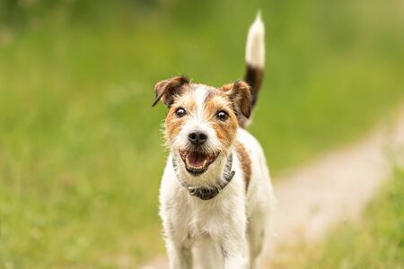 Lovely beauty Parson Russell Terrier dog stands in a green meadow in front of green background an is looking