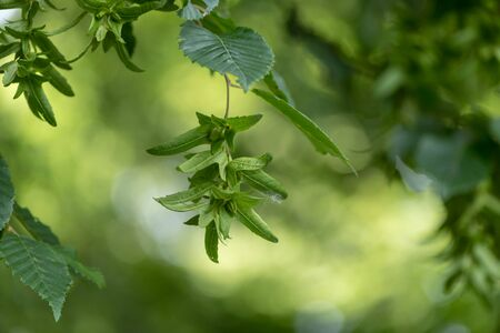 Beech tree  in summer in front of  green blurred background with immature beechnuts
