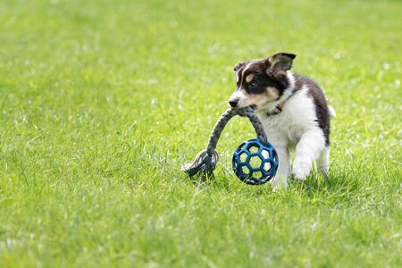 Little Border Collie puppy dog is playing with a blue ball on a meadow