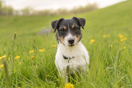 Portrait of a small cute Jack Russell Terrier  male dog outdoor in nature.